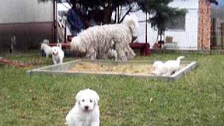Komondor Puppies With Their Mother Vatta
