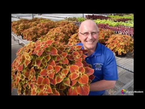 Колеус (54 фото) пестрое растение для украшения дома и сада