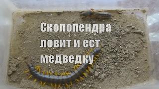 Сколопендра ловит и ест медведку / Scolopendra catches and eats mole cricket
