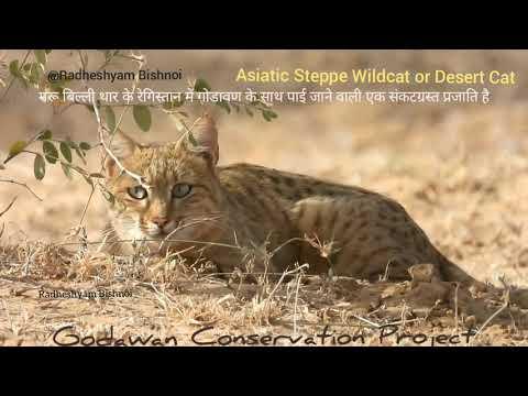 Asiatic Wildcat or Desert Cat, Desert National Park, Jaisalmer, India