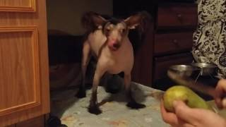 Прикол!!!Лысая собака ест все!!!