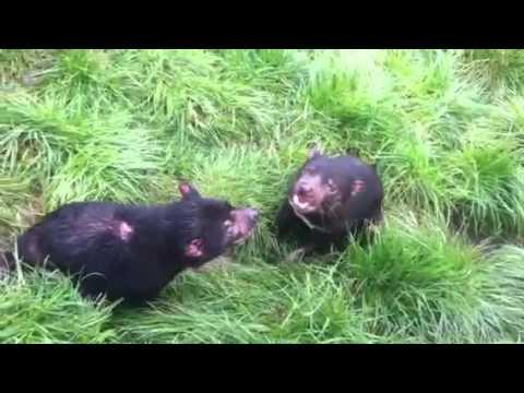 Devil fight at Tasmania Zoo