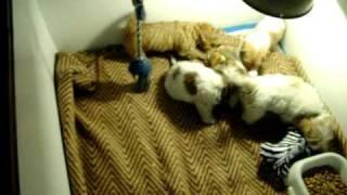 Dachshund X Shih Tzu Puppies