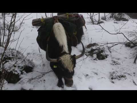 With two yaks through the Jura mountains