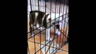 Dogs For Sale In Miami. Tel 305-262-7310 Www.puppiestogoinc.com
