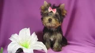 Купить щенка йоркширского терьера девочку - Декоративные мини собачки