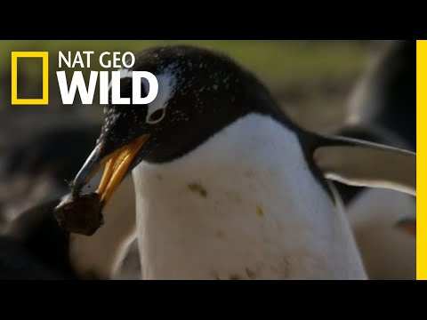 Penguin Love Story | Symphony For Our World