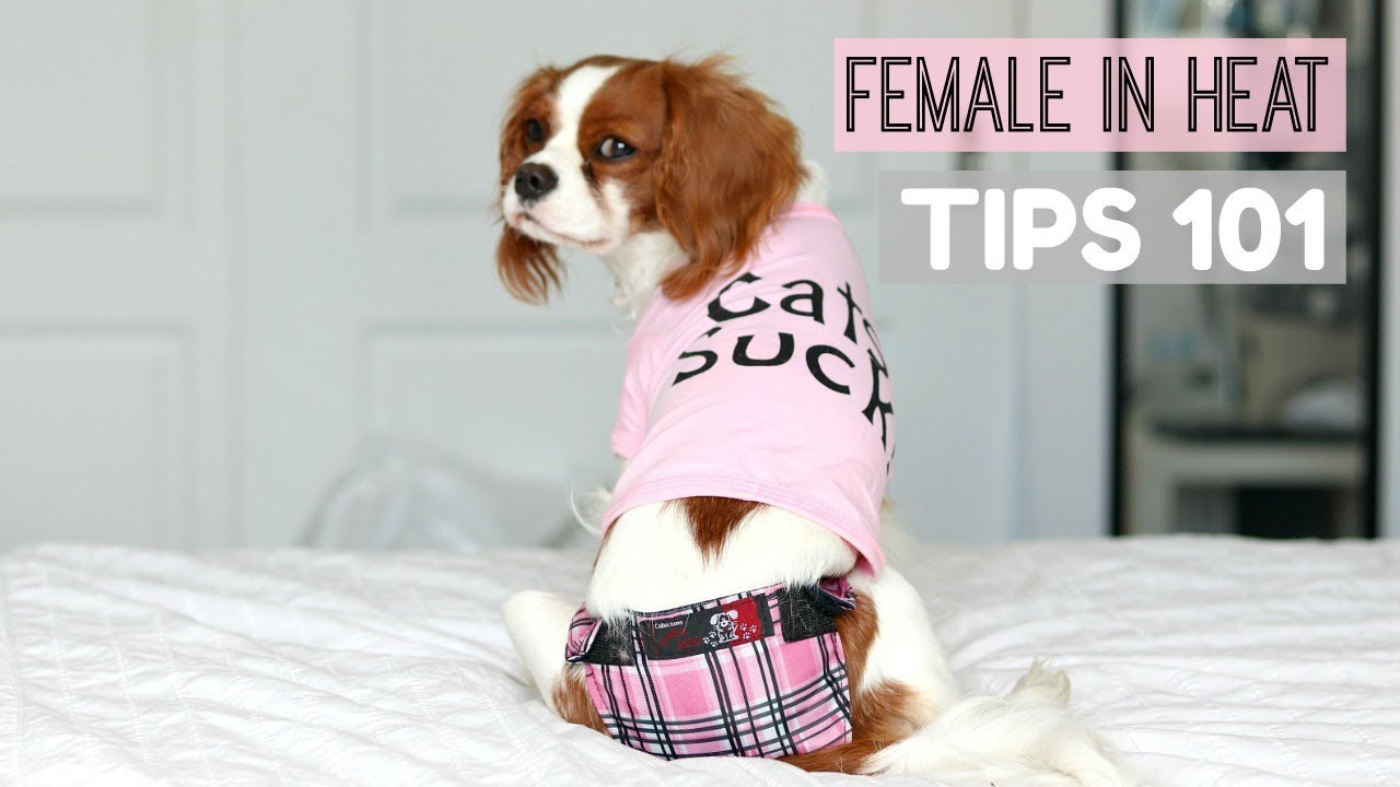 FEMALE DOG IN HEAT | TIPS 101 | What to do | Herky the ...