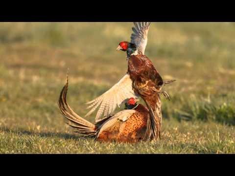 Птицы красной книги КБР