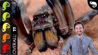 Giant Wolf Spider, The Best Pet Invertebrate?