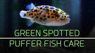 Green Spotted Puffer Fish Care Tips