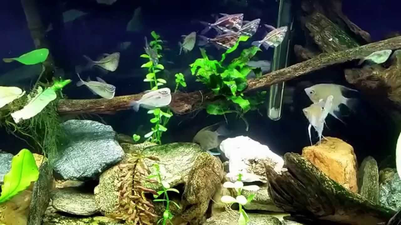 Hatchet Fish Marbled And Silver In My 55g Angelfish Tank