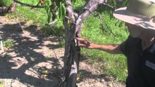 root rot versus canker