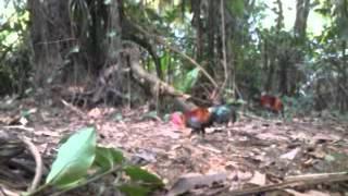 Pikat Ayam Hutan =1