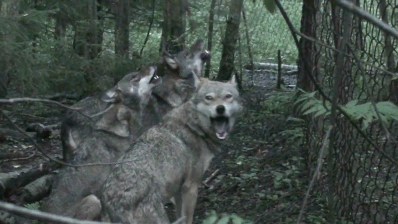 Звук волчьего воя скачать