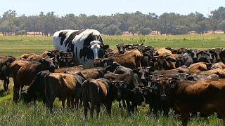 Австралийский бык-переросток
