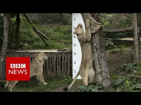 ZSL London Zoo annual Animals weigh-in - BBC News