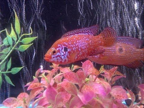 Jewel Fish (Hemichromis)