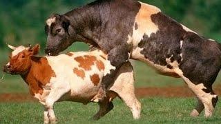 Automatisch Zucht (c) Kuh Fütterung Maschine Maschine moderne technologie Welt Welt Primitive vs mel