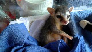 adorable baby ringtail cat yawns and stretches