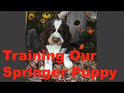 Training Our Springer Spaniel Puppy