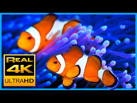4K The Best Clown Fish Nemo Aquarium & Relax Music - Sleep M