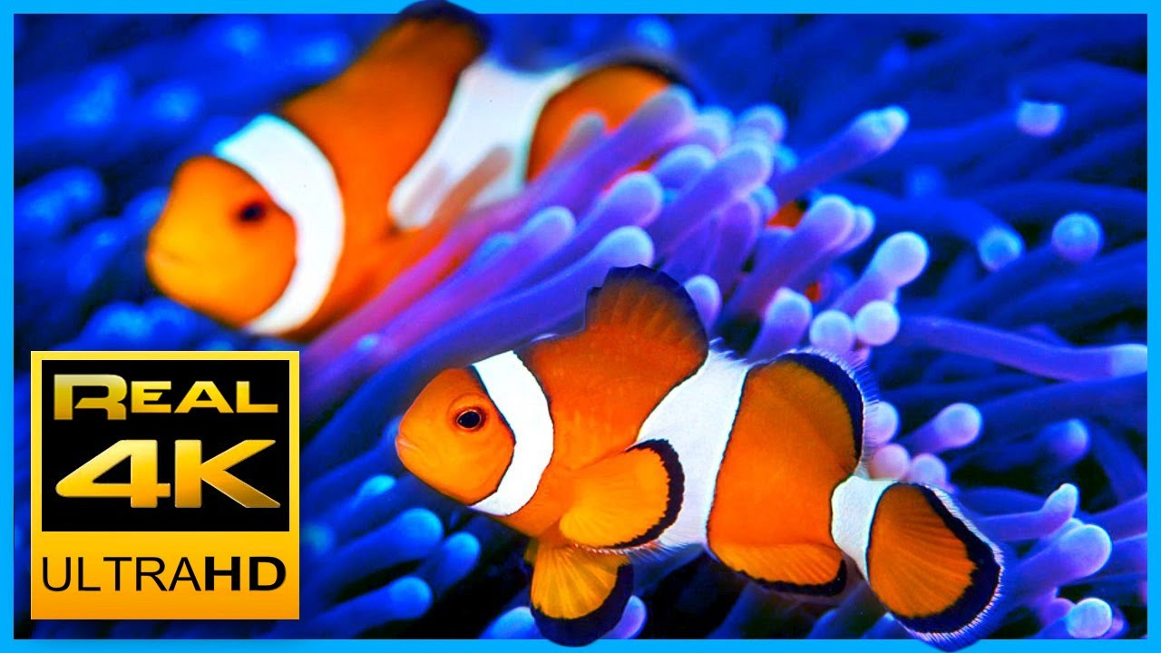 Beautiful Clown Fish Aquarium & Relaxing Music in 4K - Sleep Meditation - 2 hours - UHD Screensa