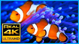 4K The Best Clown Fish Nemo Aquarium & Relax Music - Sleep Meditation - 2 hours - UHD Screensaver