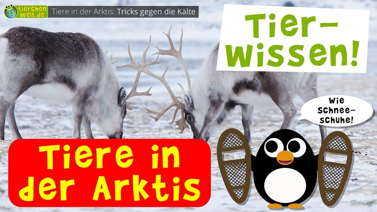 Etwas Neues genug Wie überleben Tiere die eisige Kälte in der Arktis? - YouTube @VK_17