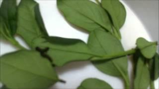 Antherina Suraka Origin:Madagascar (Saturniidae)