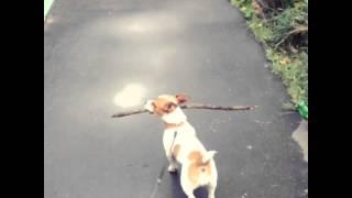 Собака Джек Рассел Дарси ходит домой со своей любимой палкой/ jack Russel