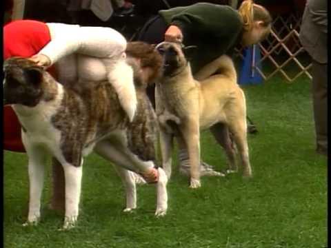Akita - AKC Dog Breed Series