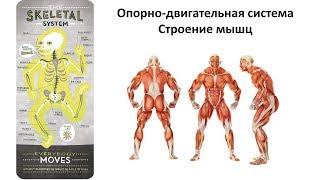 5.3 Опорно-двигательная - мышцы  (8 класс) - биология, подготовка к ЕГЭ и ОГЭ 2019