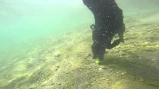 Labrador Retriever Dives Underwater Like An Otter 2