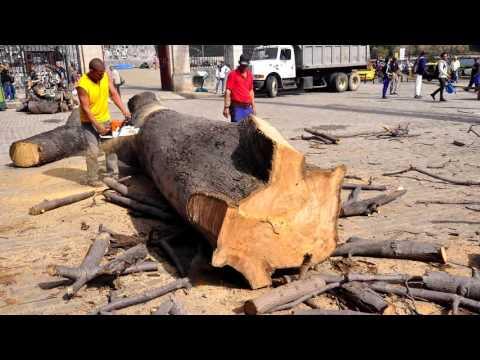 Sustitución de la Ceiba del Templete, un símbolo de La Habana