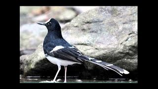Burung Kacer Air Maninting White Crowned Forktail