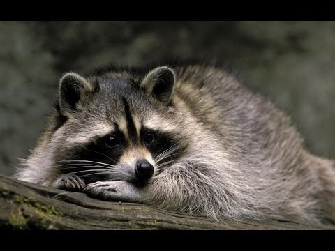13 Amazing Things About Raccoons
