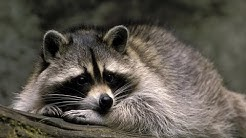 13 Facts About Racoons