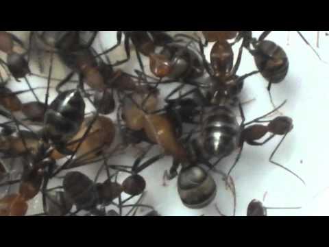 Camponotus habereri super major