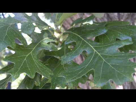 10 Great Trees for Nebraska