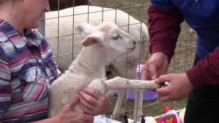Caring for Lambs/Sheep (Banding, Immunizations and Deworming)