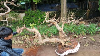 SH.1853.Quá là phê 50tr cây Ổi song siêu đẹp và dàn mini nhiều loại được báo giá tại Đông Anh.