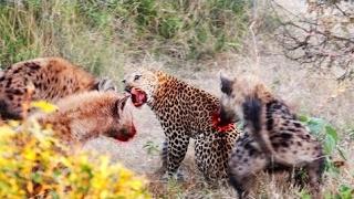 ヒョウ対ハイエナ編集|動物の攻撃|動物の戦い ヒョウ対ハイエナ編集|動...