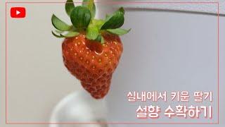 집에서 쉽게 딸기 키워 먹어보기 |홈가드닝| [Grow…