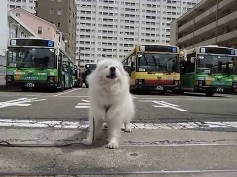 サモエド クローカ 「今日はなにドン?」 (samoyed kloka)