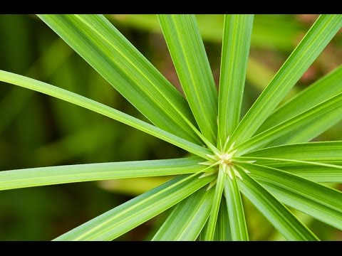 ЦИПЕРУС - растение для хорошего настроения. Уход и размножение