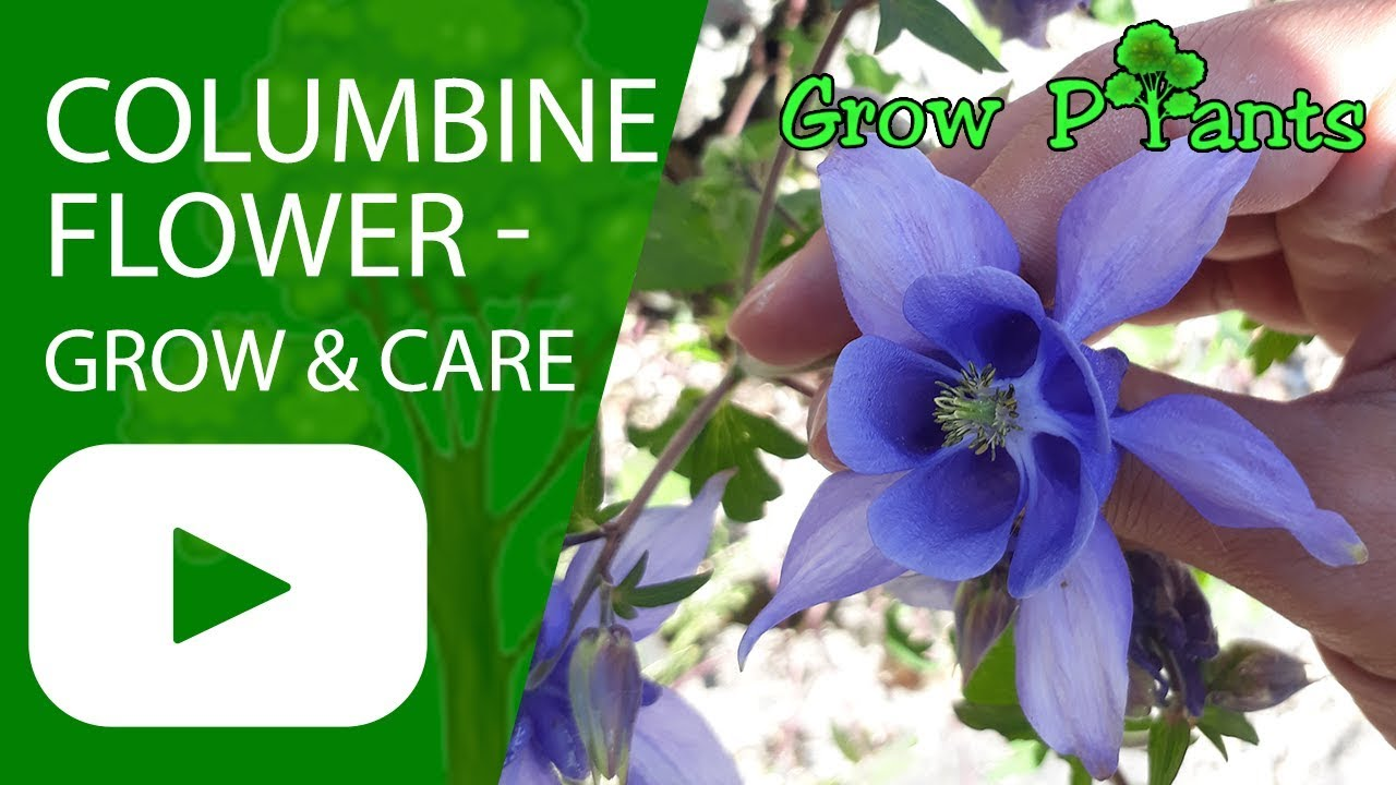 Columbine flower grow and care aquilegia plant youtube columbine flower grow and care aquilegia plant izmirmasajfo