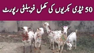 Taddy Goat Farming | tady goat | taddy goat farming in Pakistan | taddy goat for meat | Urdu Hindi