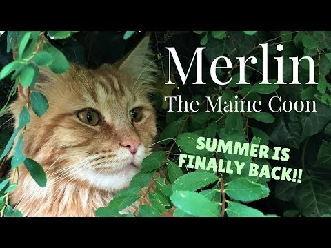 Merlin the Maine Coon - SUMMER IS FINALLY BACK!