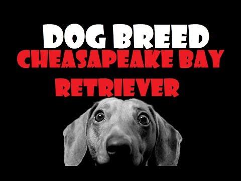 DOG BREED - Cheasapeake Bay Retriever [ITA]
